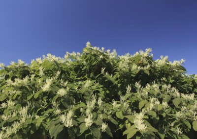 Liability for Japanese knotweed